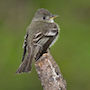 Bird Identification Guide: Flycatchers