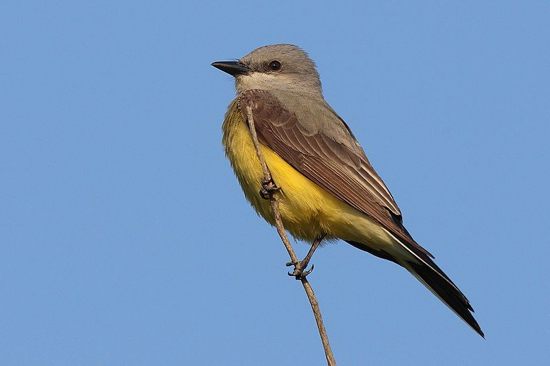 Western Kingbird (Photo: Creative Commons)