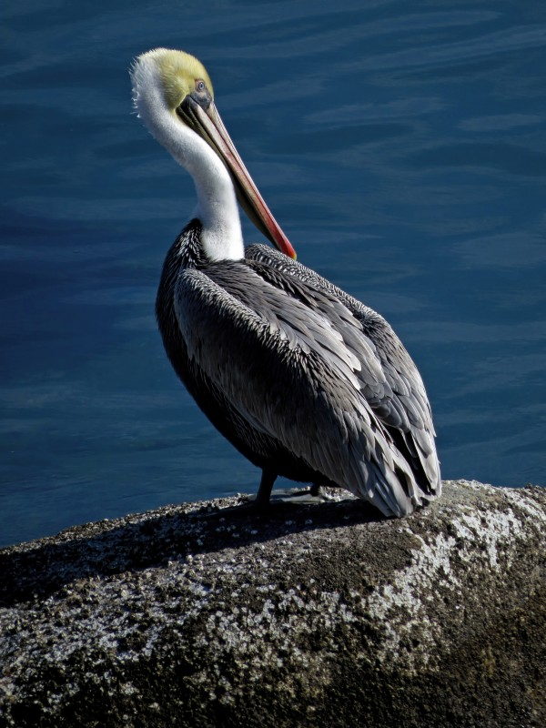 Brown Pelican by Tony Britton