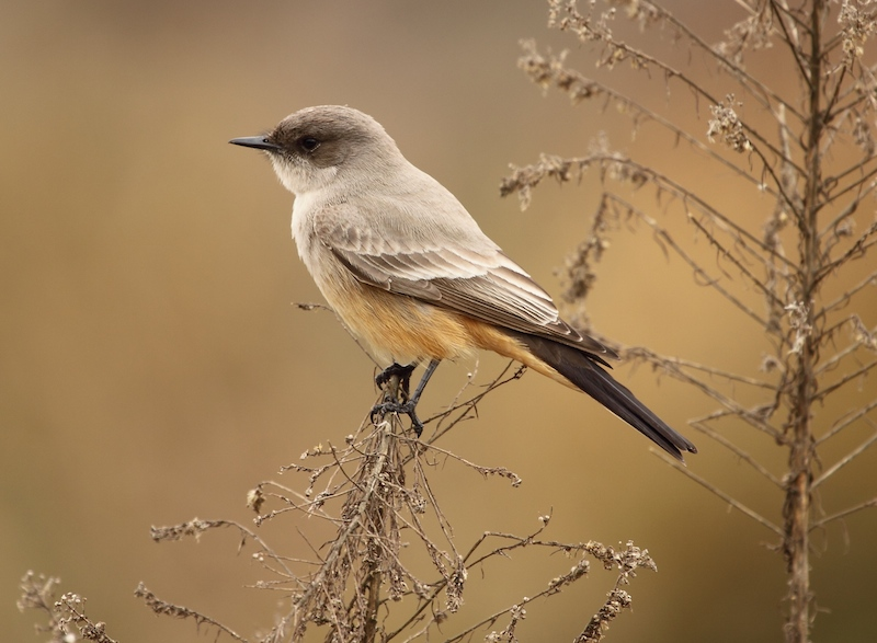 Say's Phoebe (Photo: Basar/Creative Commons)