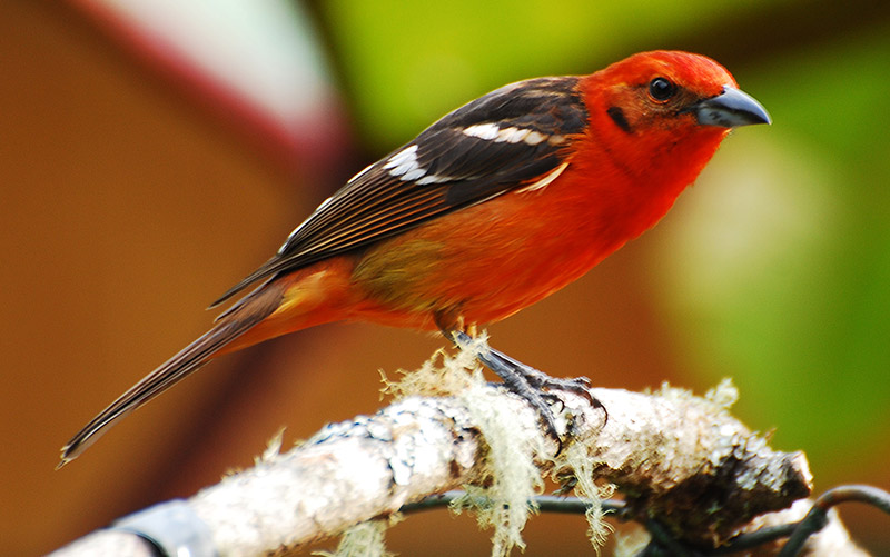 Flame-colored Tanager by Jerry Oldennettel / Wikimedia Creative Commons