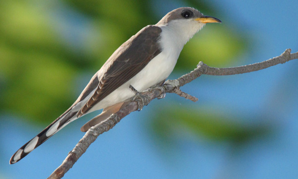 Yellow-billed cuckoo. Photo by Dominic Sherony / Wikimedia.