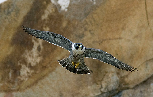 Who doesn't love a falcon? These powerful predators wow us with their agile flight and lightening speeds, the fighter jets of the bird world. Around 60 species exist worldwide, but only seven regularly occur in North America. Photo credit: Wikimedia Commons.