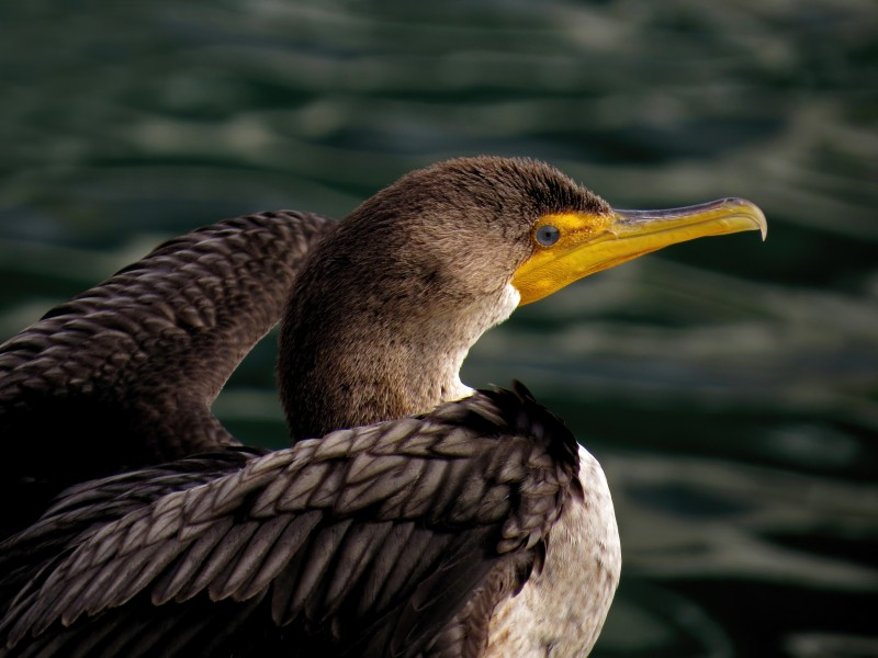 Double-crested Cormorant by Tony Britton