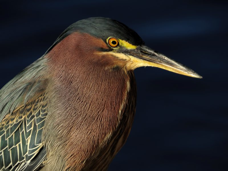 Green Heron by Tony Britton