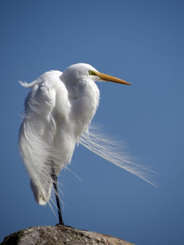 Great Egret by Tony Britton