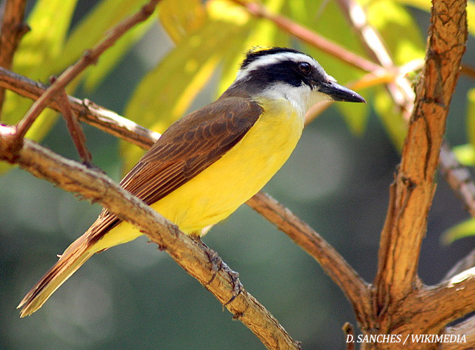 Great Kiskadee. Photo by D. Sanches / Wikimedia Commons.
