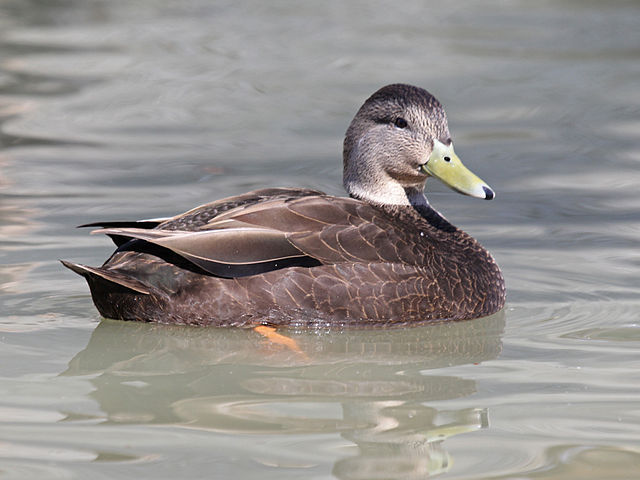 American Black Duck. Photo by D. Daniels / Wikimedia.