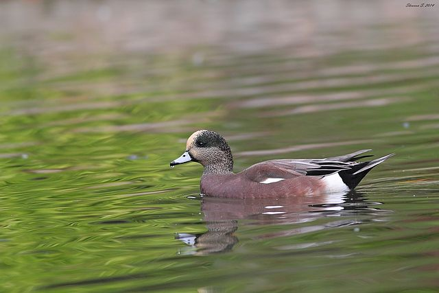 American Wigeon. Photo: Creative Commons.