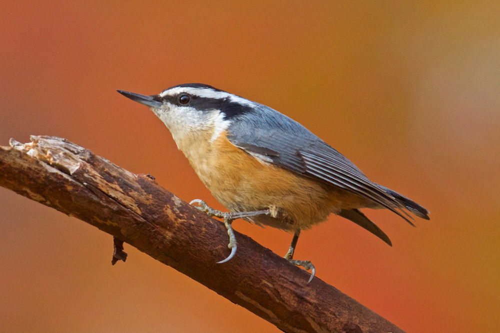 Watch for red-breasted nuthatches in the fall and winter of 2020. Photo by G. McGarry.