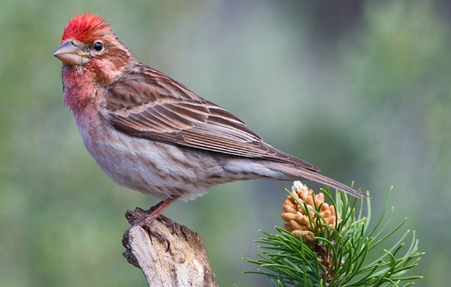 Small red finches cause ID headaches for many bird watchers. This is a male Cassin's finch.
