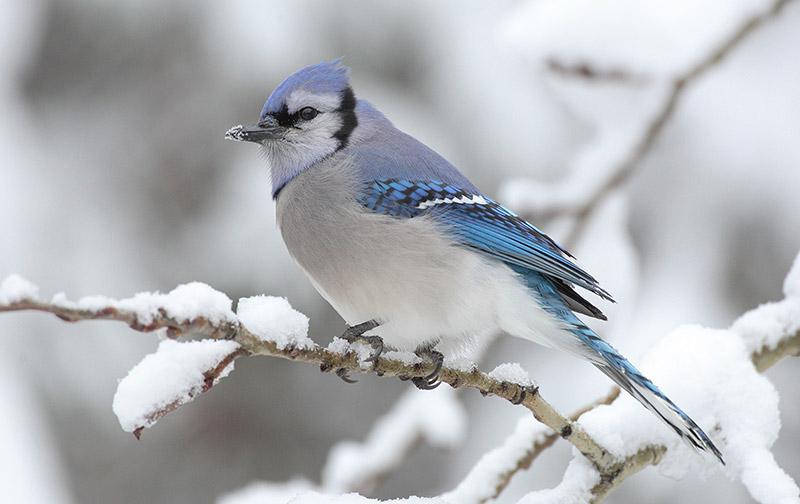 The blue jay is a common and familiar species, yet one whose social life and habits remain little known. Author Diane Porter sheds light on its mysteries. Photo by MDF/Wikimedia Creative Commons.