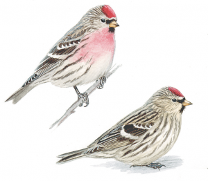 Common redpolls, male (left) and female (right).