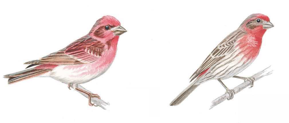 male-finch-compare