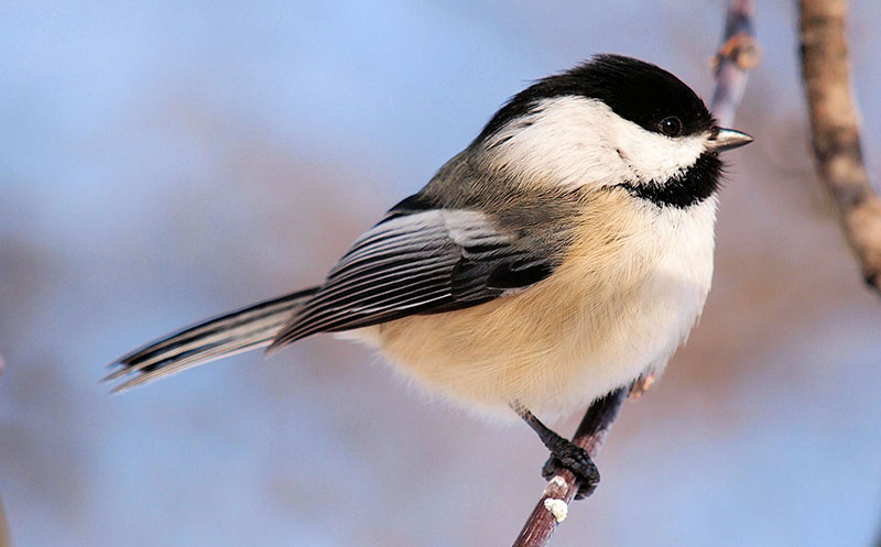 Black-capped Chickadee. Photo by Alain Wolf / Wikimedia Commons.