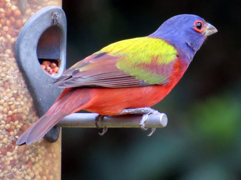 Painted Bunting at feeder by Deb Crowley