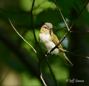 Red-eyed Vireo, photo contributed by Jeff Seneca