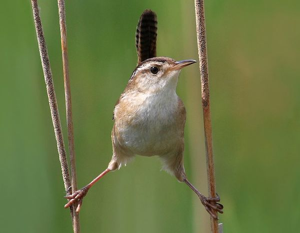Marsh Wren | Photo: Cephas/Wikimedia