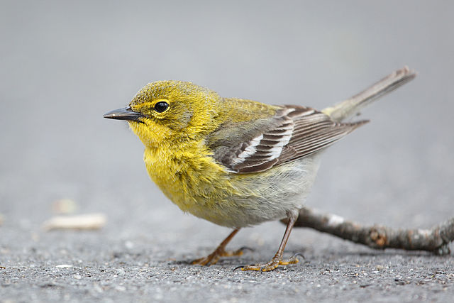 Pine Warbler | Photo: Creative Commons