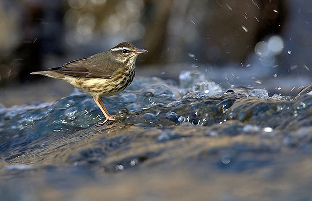 Louisiana Waterthrush | Photo: William H. Majoros/Creative Commons