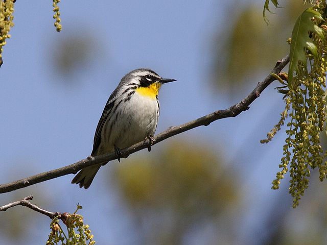 Yellow-throated Warbler | Photo: Creative Commons