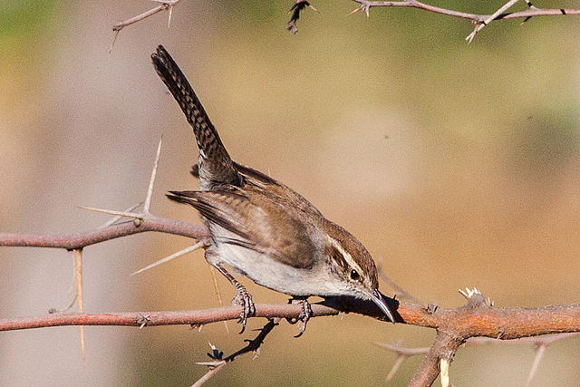 Bewick's Wren | Photo: R. Knight/Wikimedia