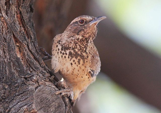 Cactus Wren | Photo: W. Willoughby/Wikimedia