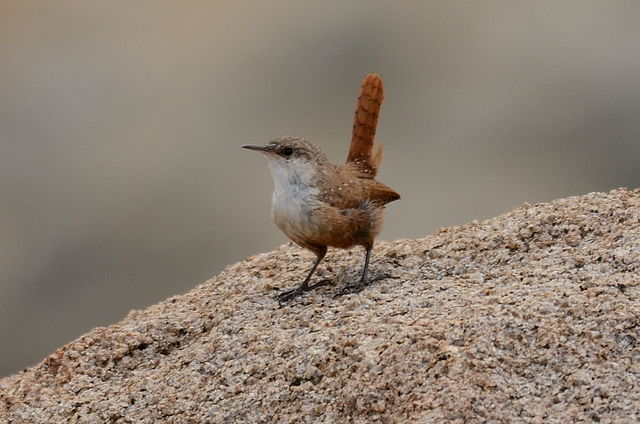 Canyon Wren | Photo: N. Reynolds/Wikimedia