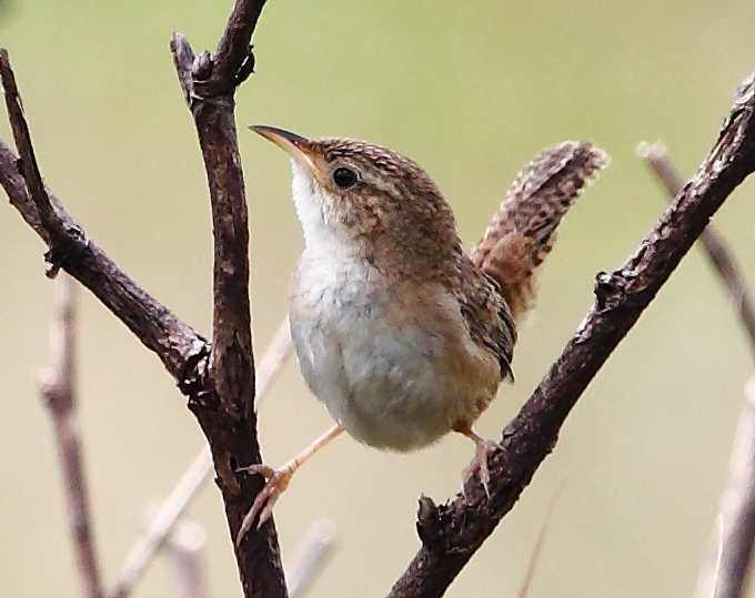 Sedge Wren | Photo: Wikimedia