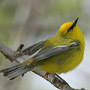 Bird Identification Guide: Wood Warblers
