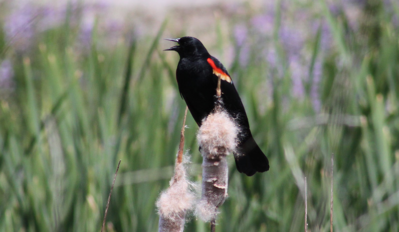 Red-winged blackbird by Jessica Ingram