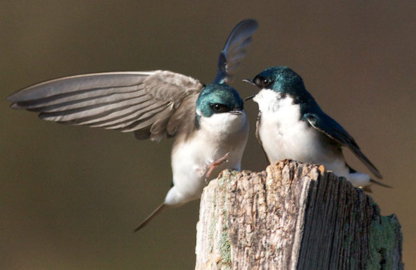 Tree swallow photo by Bill Thompson, III
