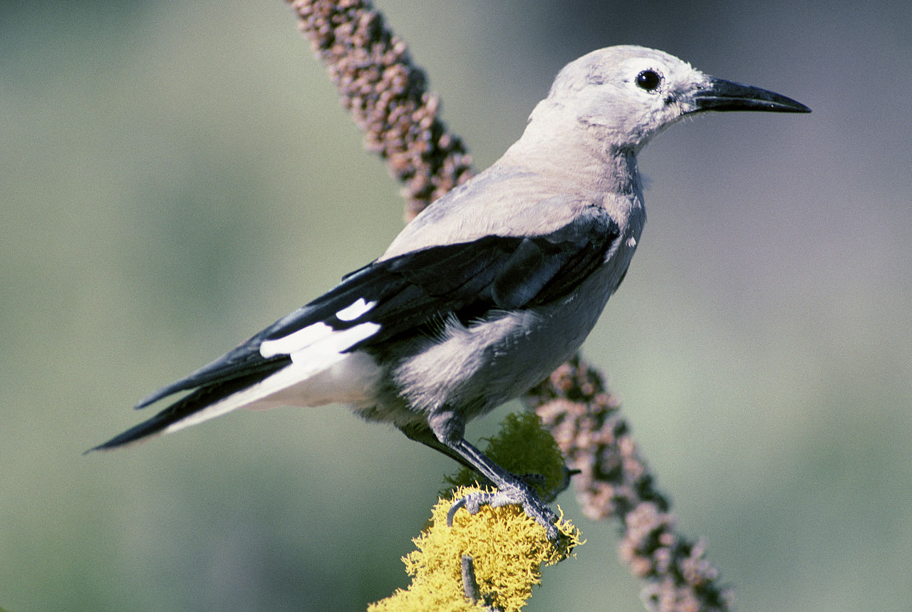 Clark's Nutcracker (Nucifraga columbiana). Photo by Dave Menke / Wikimedia Commons