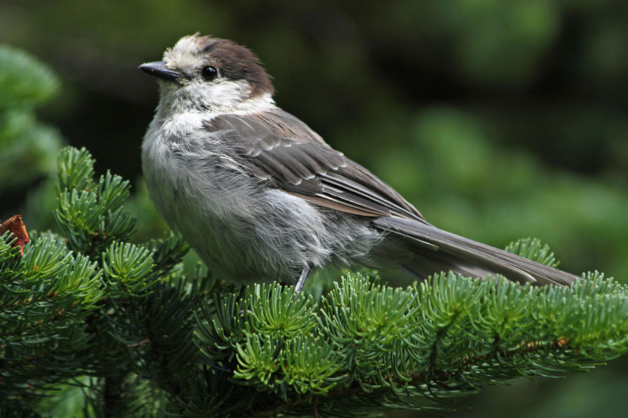 A gray jay pauses to rest in the fir trees of Mount Ranier State Park, Washington. Photo by Walter Siegmund / Wikimedia.