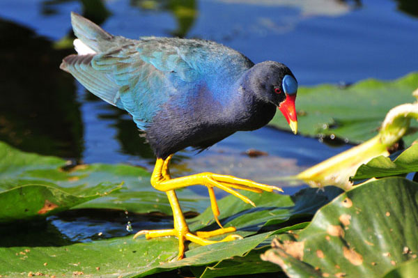 A purple gallinule at Emeralda Marsh, Leesburg, Florida. Photo by Maureen Allen.