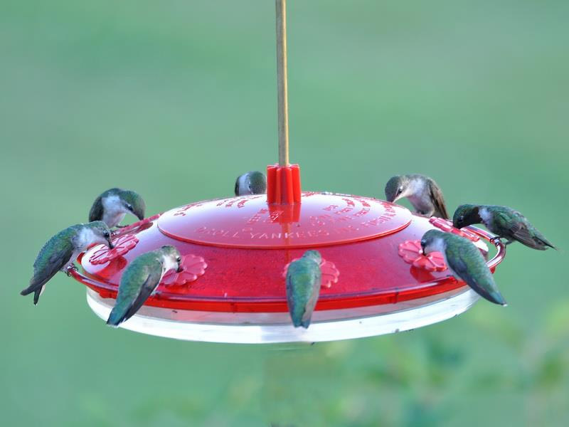 Ruby-throated hummingbirds swamp a backyard feeder. Photo by by Janet Quinn.