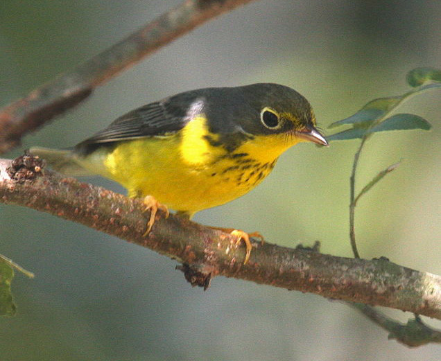 A Canada warbler hides in the shade of a leafy bough. Photo by Emmett Hume / Wikimedia.