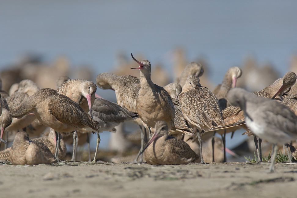 A flock of marbled godwits. Photo by William H. Majoros / Wikimedia.