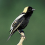 Bird Identification Guide: Blackbirds, Orioles, & Allies