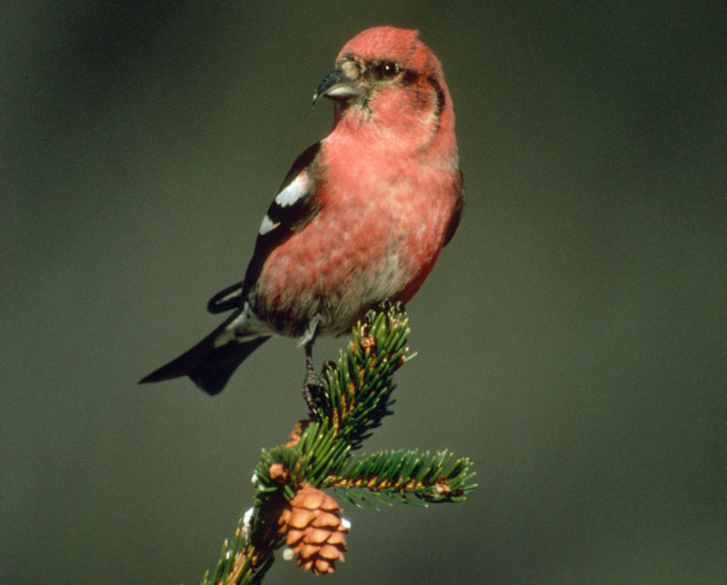 White-winged crossbill photo by Brian Henry.