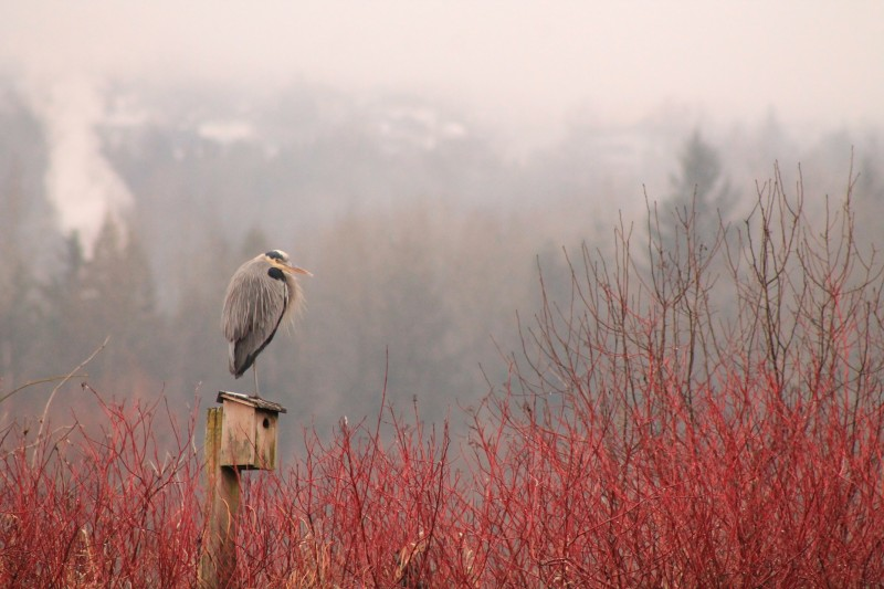 Great Blue Heron by Catherine Morrin