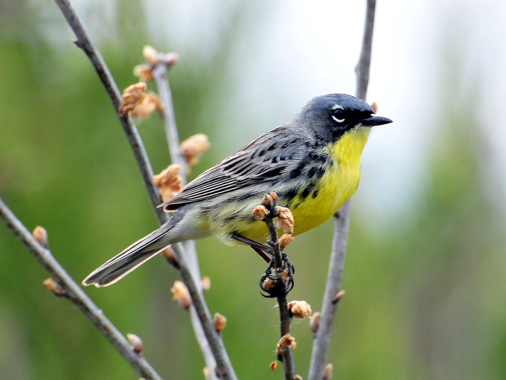 A male Kirtland's Warbler stops to rest in a jack pine forest in Michigan. Photo by Jeol Trick, USFWS.