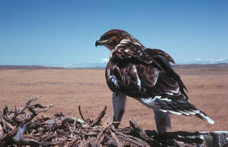 A Ferruginous hawk protects its nest in Nevada. Photo by Mark Hilliard / BLM.