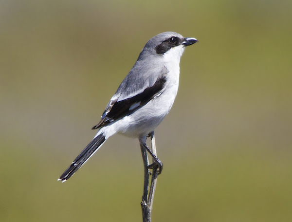Loggerhead Shrike Steve Berardi via Wiki Commons