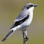 Bird Identification Guide: Shrikes & Vireos