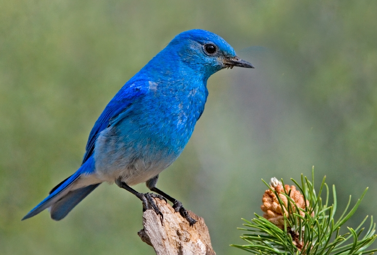 Mountain Bluebird, photo by Elaine R. Wilson / Wikimedia Commons