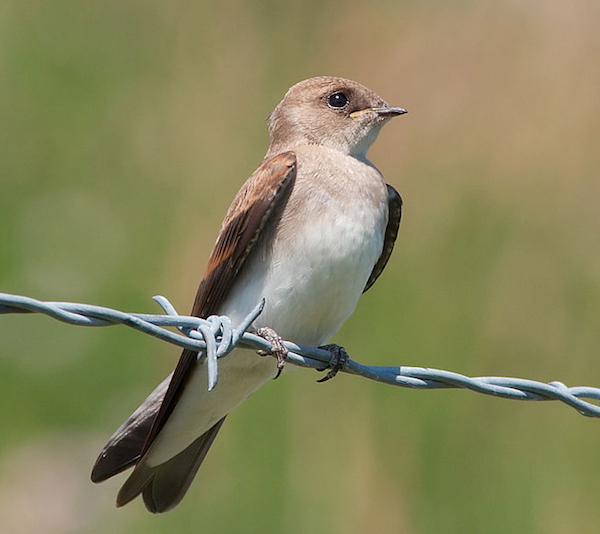 Northern Rough-winged Swallow DoriBot via Wiki Commons