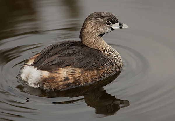 Pied-billed Grebe, Photo by Dori via Wiki Commons