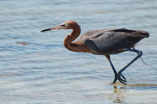 Reddish Egret photo by Derek Bakken / Wikimedia