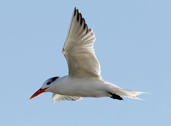 Royal tern, photo by Emily Willoughby via Wiki Commons